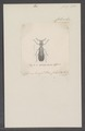 Apolopha - Print - Iconographia Zoologica - Special Collections University of Amsterdam - UBAINV0274 026 04 0010.tif