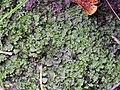 Apopellia endiviifolia 101102430.jpg