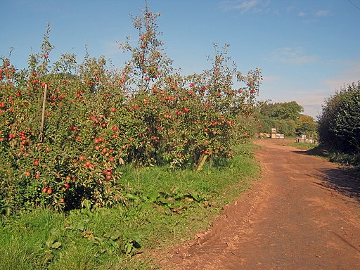 Apple orchard at Putley - geograph.org.uk - 2197971