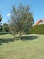 Apple tree, 2020 Marcali.jpg