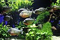 Aquarium Piranhas.jpg