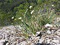 Arabidopsis petraea sl5.jpg