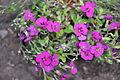 Arabis blepharophylla Rose Rock Cress არაბულა.JPG