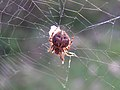 Araneus diadematus on Yew Tree Heath, New Forest - geograph.org.uk - 184242.jpg