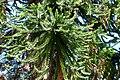 Araucaria australiana (Araucaria bidwillii) - Flickr - Alejandro Bayer (1).jpg