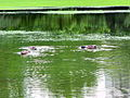 Arboretum - 'Land unter' nach Gewittersturm 2012-07-03 17-29-11 (P7000).JPG