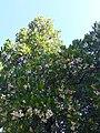 Arbousier en fleurs et fruits.jpg