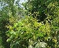 Archidendron bigeminum 33.jpg