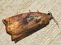 Archips podana ♂ - Large fruit-tree tortrix (male) - Листовёртка-толстушка всеядная (самец) (27426060688).jpg
