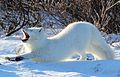 Arctic fox (6375712425).jpg