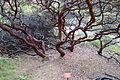 Arctostaphylos purissima - Regional Parks Botanic Garden, Berkeley, CA - DSC04562.JPG