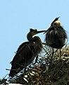 Ardea herodias nest 5-09-08-3.jpg
