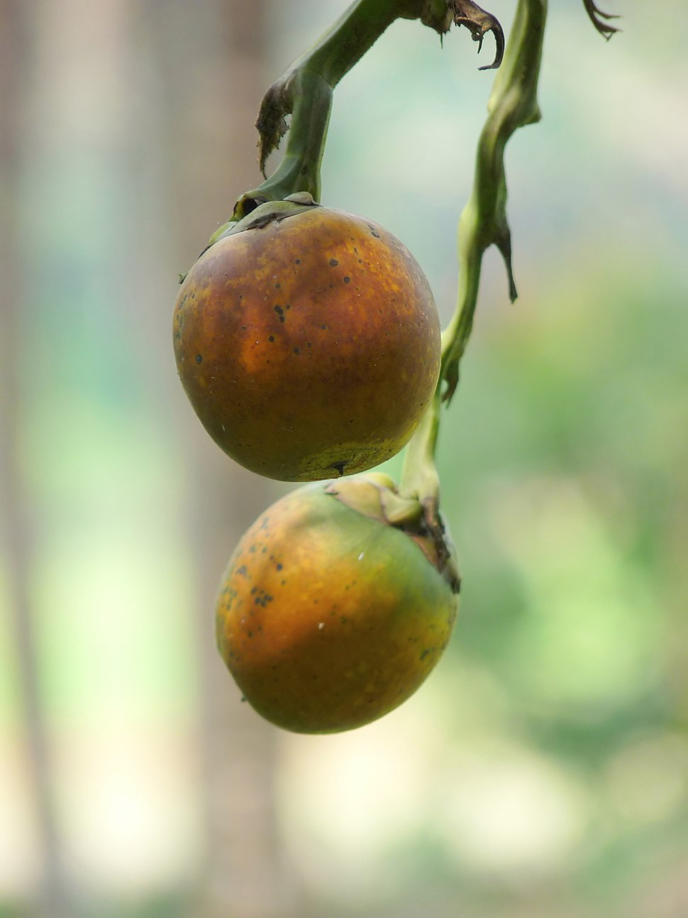 Areca catechu nuts at Kadavoor