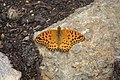 Argynnis hybrida 02.jpg