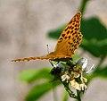 Argynnis paphia - Flickr - gailhampshire (2).jpg
