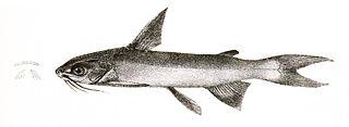 <i>Arius</i> (fish) genus of fishes