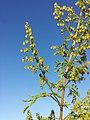 Artemisia annua sl6.jpg