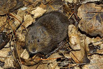 Southwestern water vole - Image: Arvicola sapidus 02 by dpc