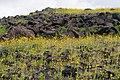 Ashford Mill - Desert Gold (3811732489).jpg