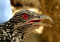 Asian koel (close-up).jpg