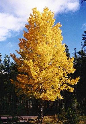 Yellow - Image: Aspen Populus Tremuloides 2001 09 27