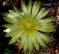 Astrophytum flower 207.jpg