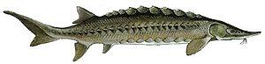 Gnathostomata - 70 px