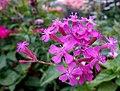Atocion flower (close up).jpg