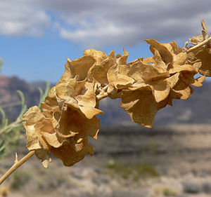 Atriplex canescens - Dried fruits on a stem, in the desert west of Las Vegas, Nevada