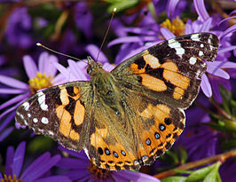 Australian Painted Lady.jpg