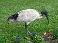 Australian White Ibis RWD.jpg