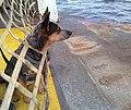 Australian cattle dog Goose aboard the MV Guemes.jpg