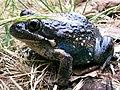 Australian toad.jpg