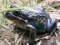 Australian toad