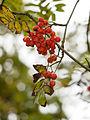 Autumn berries (10493656773).jpg