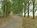 Avenue of Poplars line the bridleway to Shermanbury Place - geograph.org.uk - 1498277.jpg