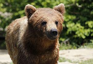 Ursinae - A brown bear (Ursus arctos)