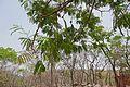 Bénin-Parkia biglobosa (6).jpg