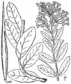 BB-3384 Asclepias decumbens.png