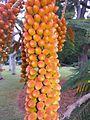BCBG Colvillea racemosa flower buds 04.jpg