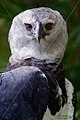 BIRD HARPY EAGLE SURINAM AMAZONE SOUTH-AMERICA (32202838783).jpg