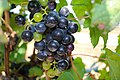 BUNCH WINE GRAPES green and purple close up (48986226768).jpg