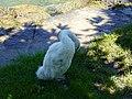 Baby swan @ Lake Annecy @ Port de Saint-Jorioz (50487110898).jpg