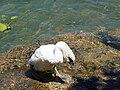 Baby swan @ Lake Annecy @ Port de Saint-Jorioz (50487818721).jpg