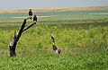 Bald eagle fledglings on Lacreek NWR 1 (12824191325).jpg