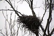 A Bald Eagle nest