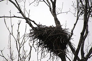 Geography of St. Louis - Female bald eagle on an egg in nest near Chain of Rocks Bridge