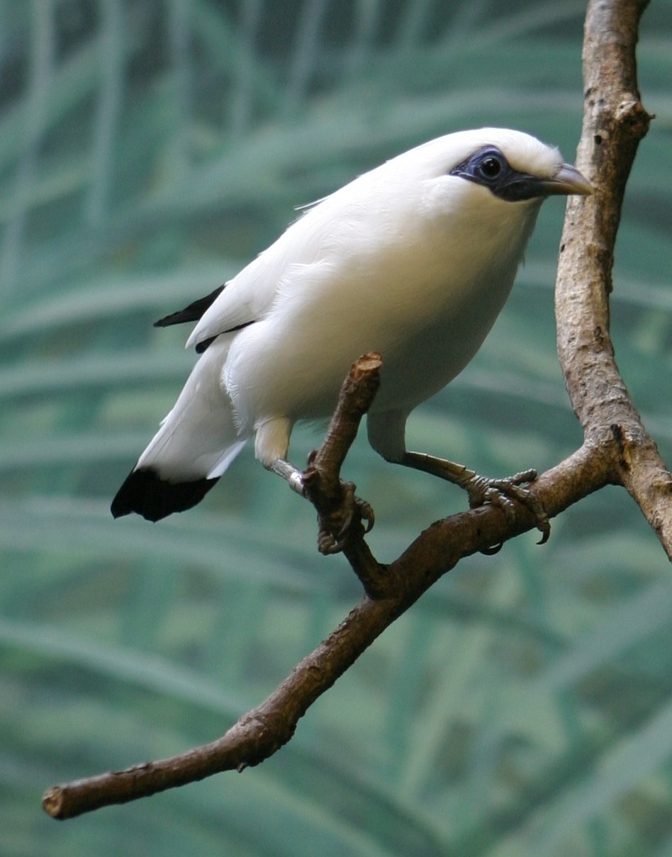 Bali Mynah - Houston Zoo