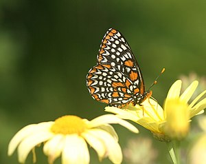 Pollination syndrome - Baltimore (Euphydryas phaeton) nectaring at daisy (Argyranthemum)