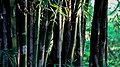 Bamboo Tree.jpg
